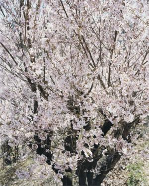 BACK DOOR -桜のゆくえ-